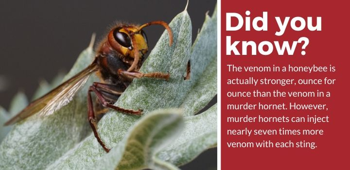 did you know murder hornet fact