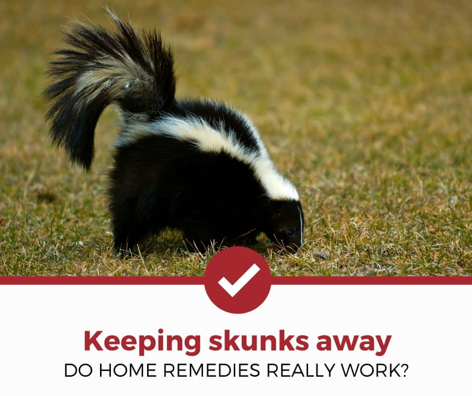 Home Remedies to Keep Skunks Away (Simple Guide) - Pest ...