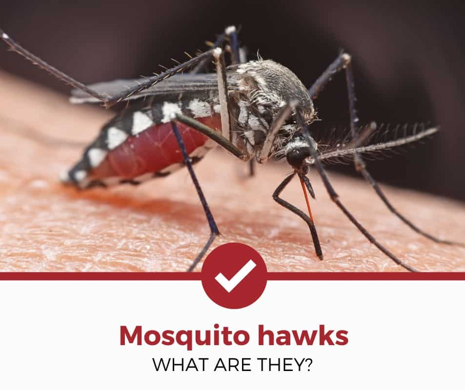 What are mosquito hawks?