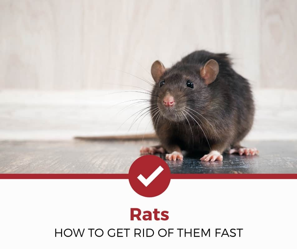 How To Get Rid Of Rats Fast 10 Remedies