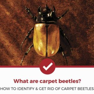 What are carpet beetles?