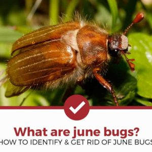 How to identify and get rid of June Bugs