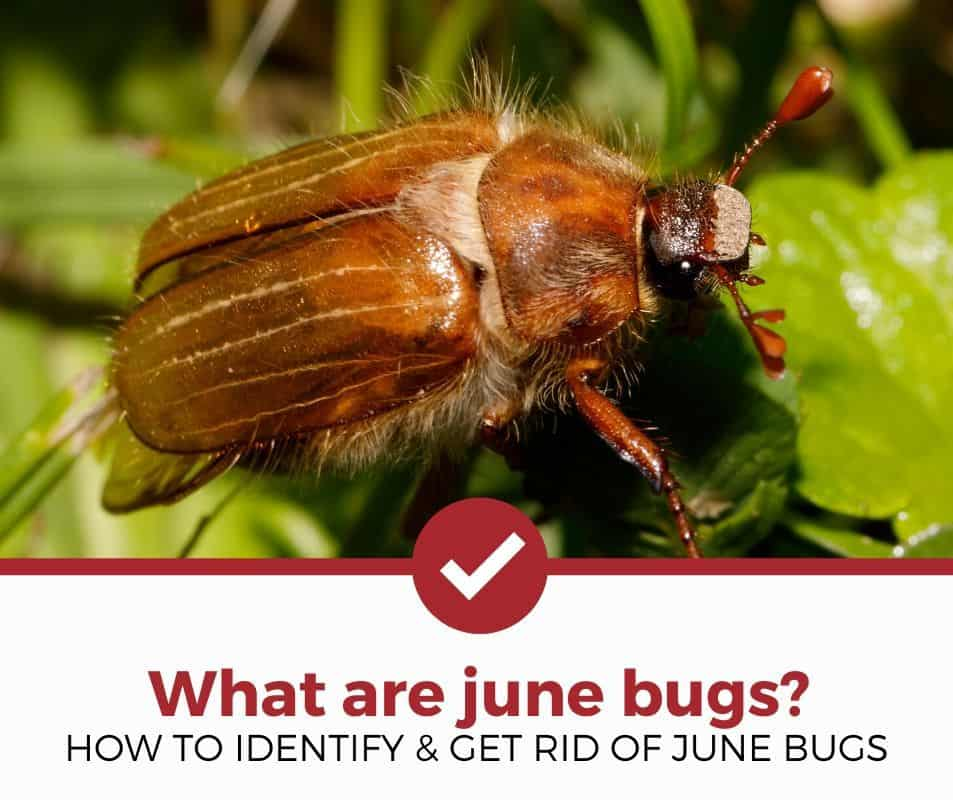 What is a June Bug