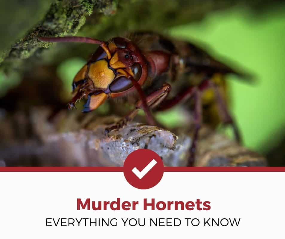 what are murder hornets are they dangerous