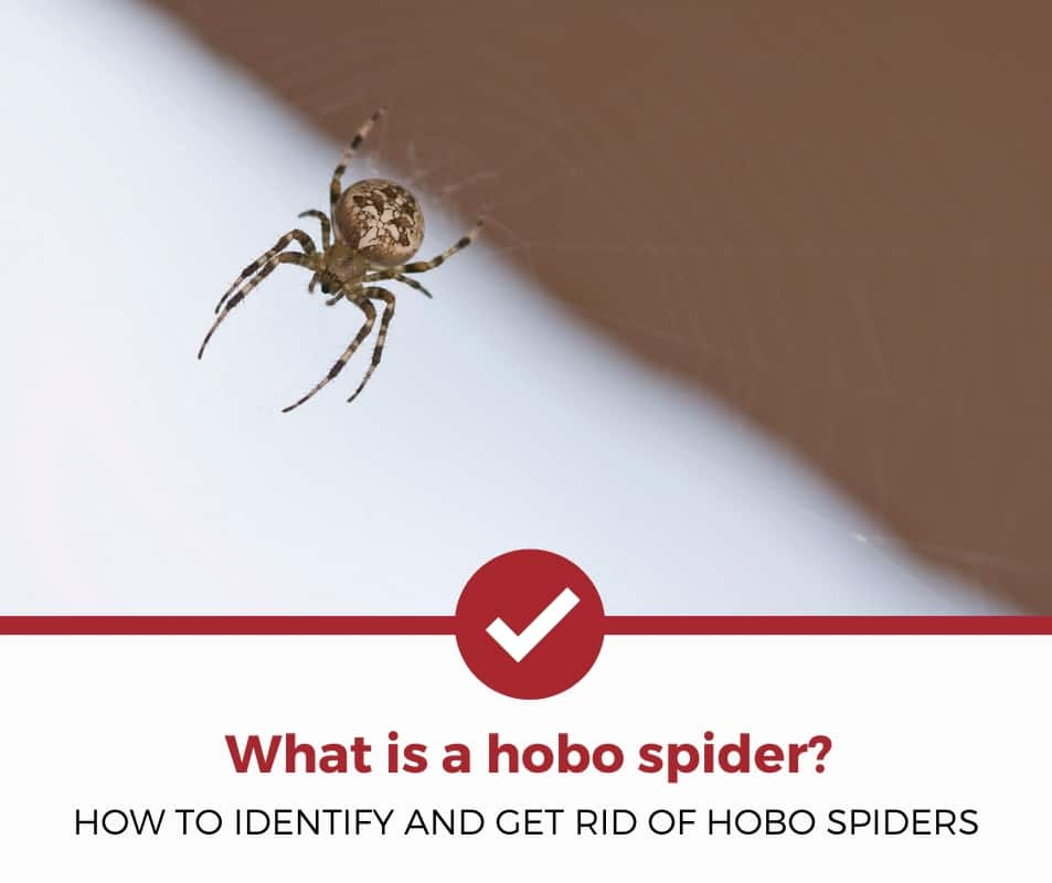 what is a hobo spider?