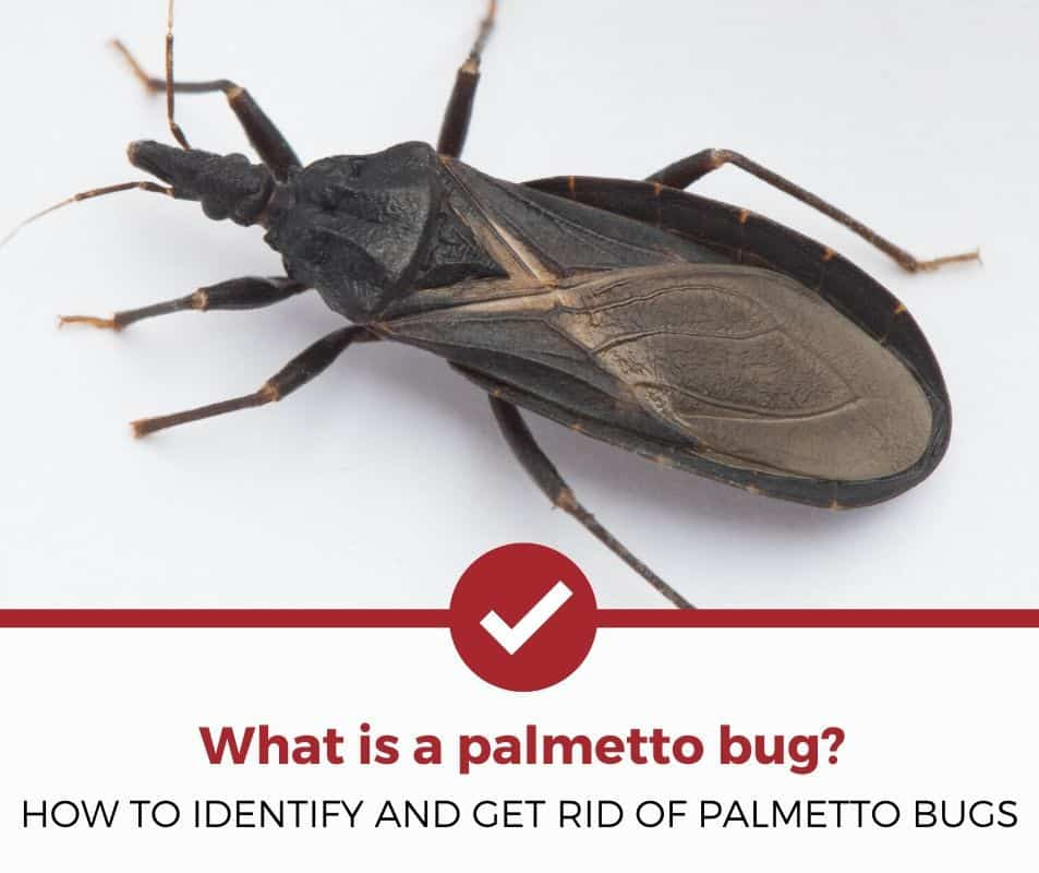 How to identify and get rid of palmetto bugs