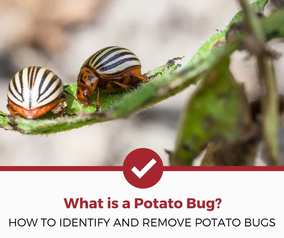 What is a potato bug?