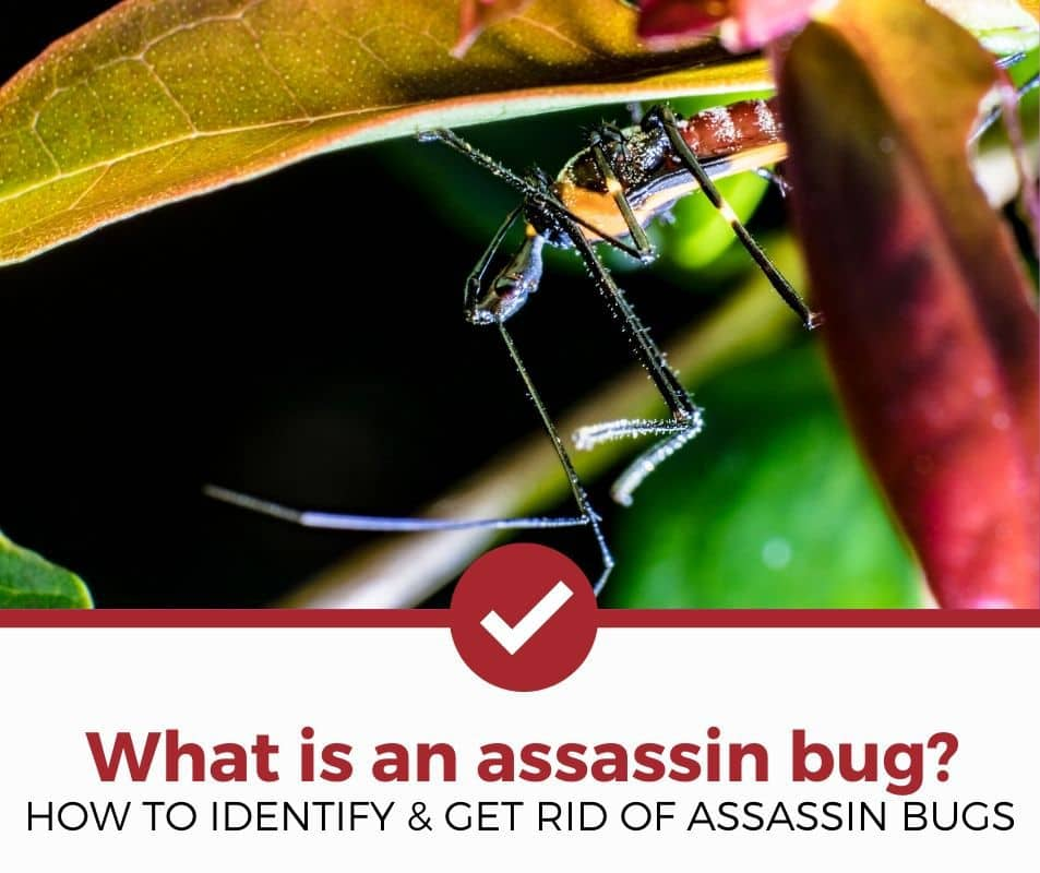 How to identify and get rid of assassin bugs