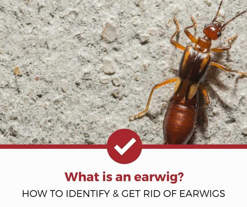 How to identify and get rid of earwigs